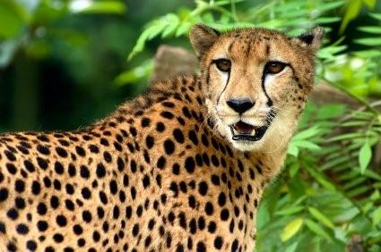 All About Animal Wildlife Fastest Animal Cheetah Facts