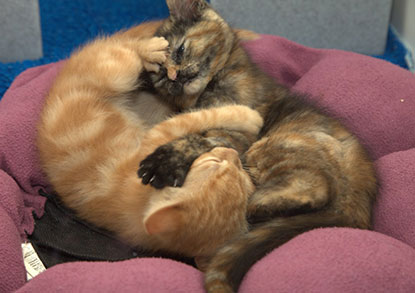 Intertwined kittens
