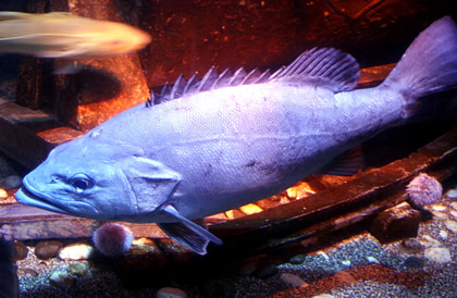 Wreckfish (Polyprion americanus)