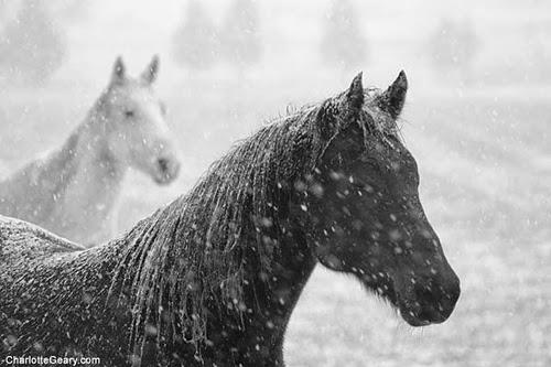 Výsledek obrázku pro kůn v zimě