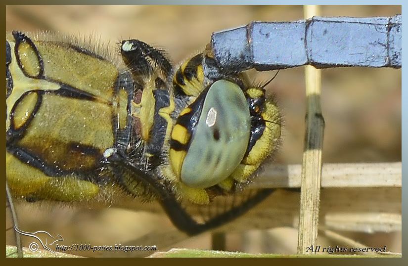 http://odonatas69a.blogspot.fr/2014/06/calopteryx-occitan-et-petit-quiz.html