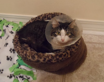 Anakin Two legged cat feeling better after cryptorchid neuter surgery