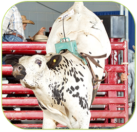 joint supplement, cow, livestock
