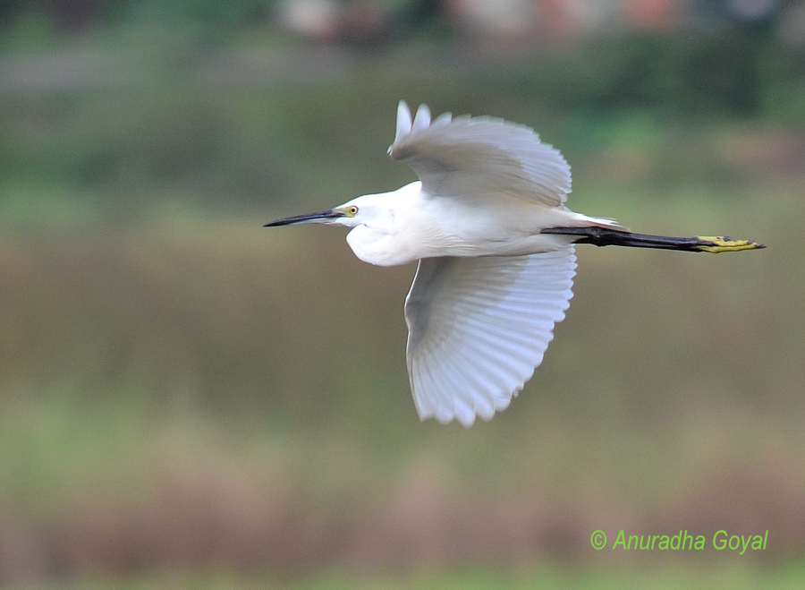 Little Egret bird in-flight, Goa