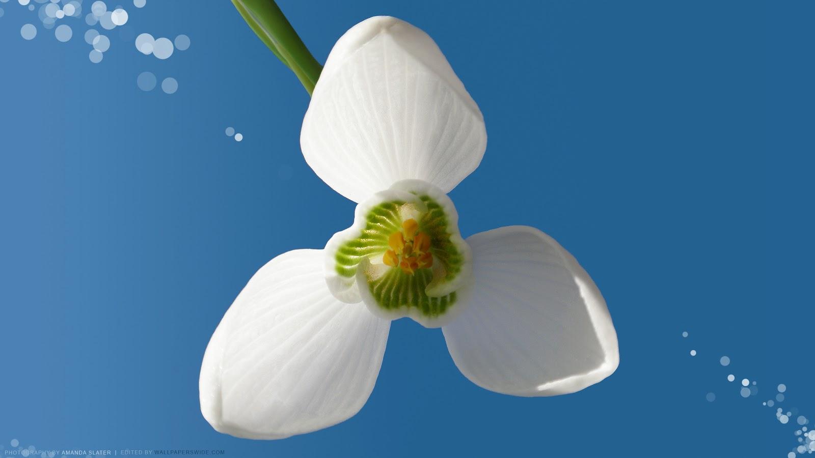 http://3.bp.blogspot.com/-51nkNkSqO60/T1MsJTwv25I/AAAAAAAAB-8/O5McfHkSq8Y/s1600/Snowdrop-II-2560x1440-ghiocel-frumos.jpg