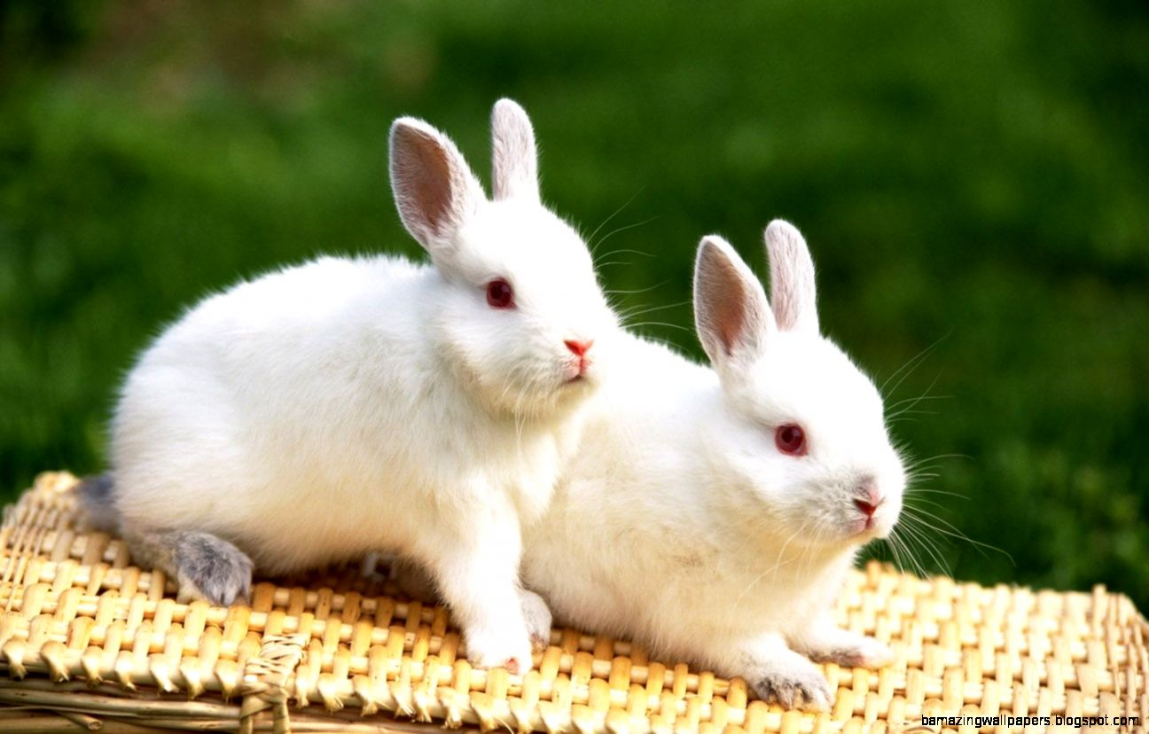 Cute White Baby Bunnies Widescreen 2 HD Wallpapers