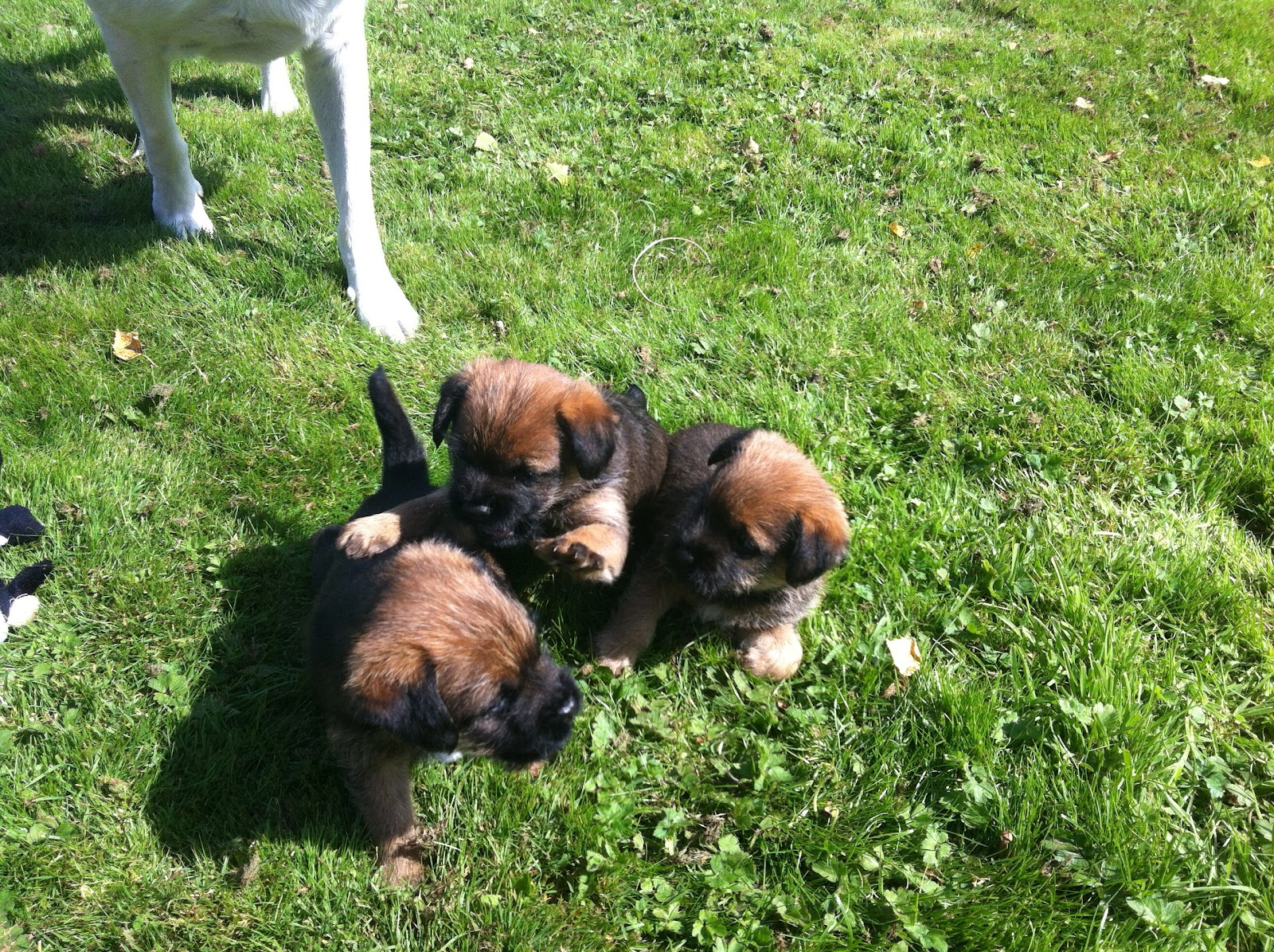 Border Terrier Girl Dog Names