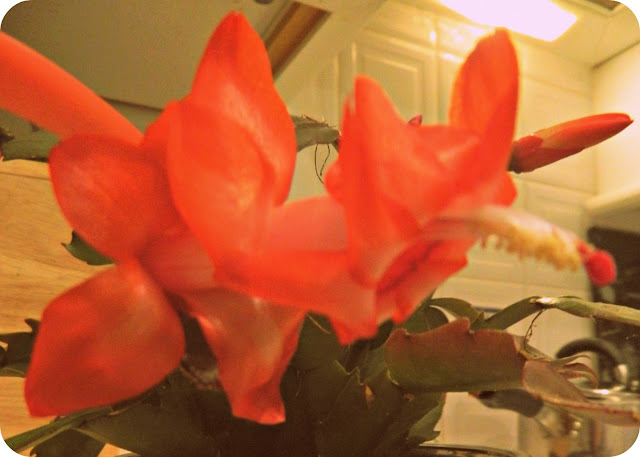 Easter Red Flowering Cactus Flowers