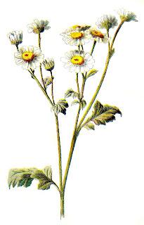 wildflower illustration flower clip art
