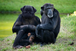 Pug macaco photoshop