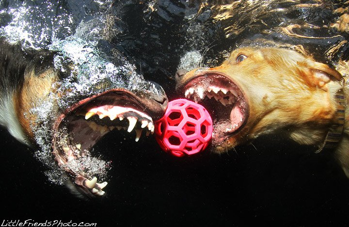 Cães mergulhadores