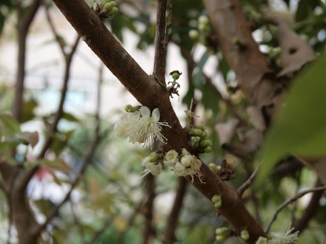 樹葡萄(嘉實果)開花