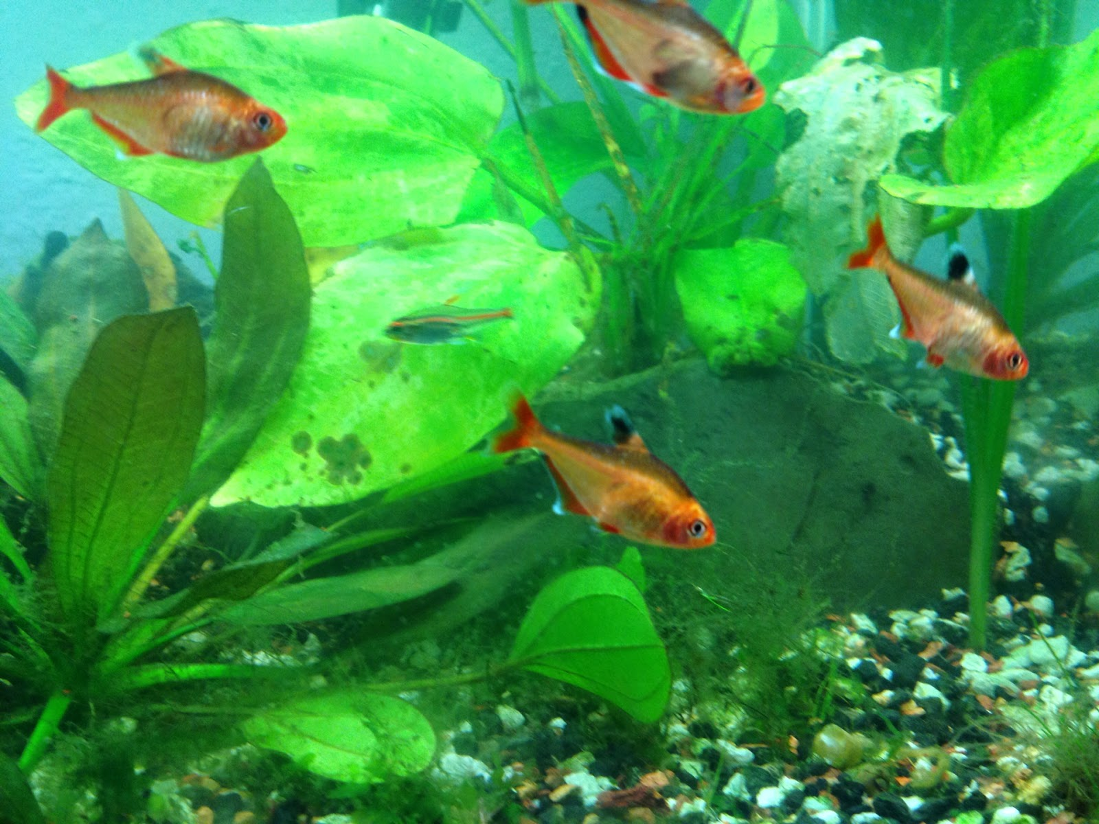 Fish aquarium red spots - Note The Black Dorsal Fin Edged With White The Front End Of The Dorsal Fin Can Also Be White Or Red The Anal Fins Are Also White Edged With A Black Dot
