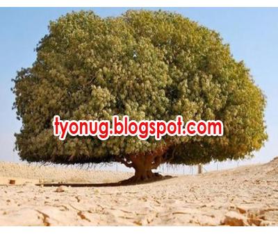 pohon nabi