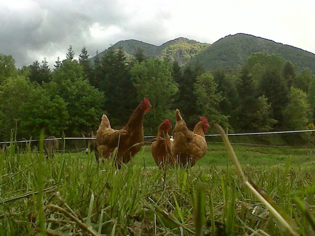 pollastre ecològic online