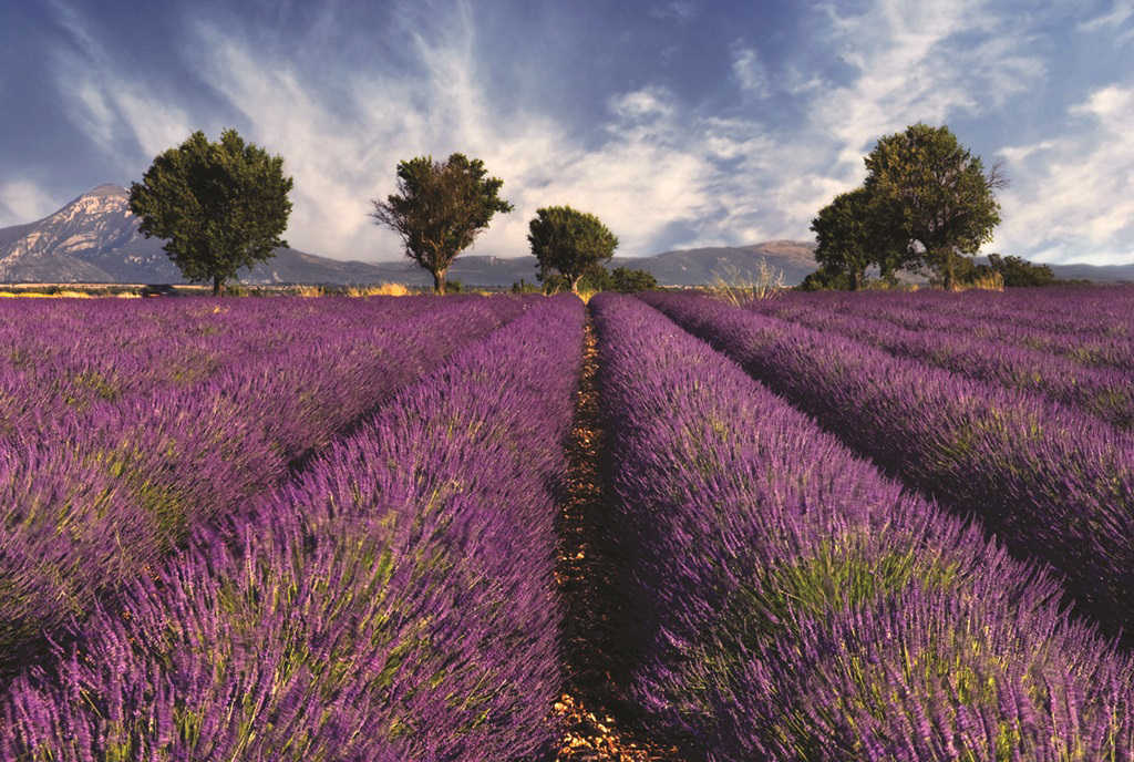 Lavender fields Provence - France