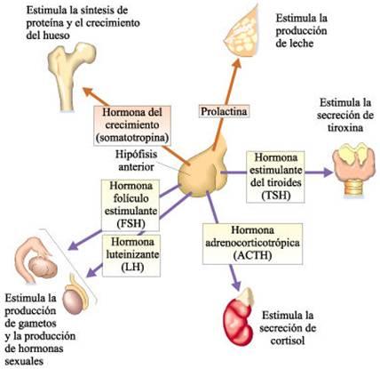 Fisiología: Unidad VI: Sistema endocrino