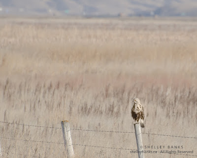 Rough-legged Hawk. © Shelley Banks; all rights reserved.