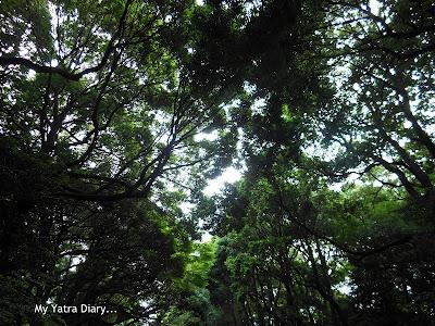 Tree cover leading to the Meiji Jingu Shrine, Tokyo