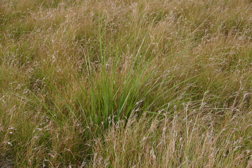 Toowoomba plants a native meadow for Grass looking shrubs