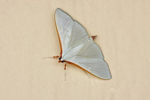 Papillon de nuit