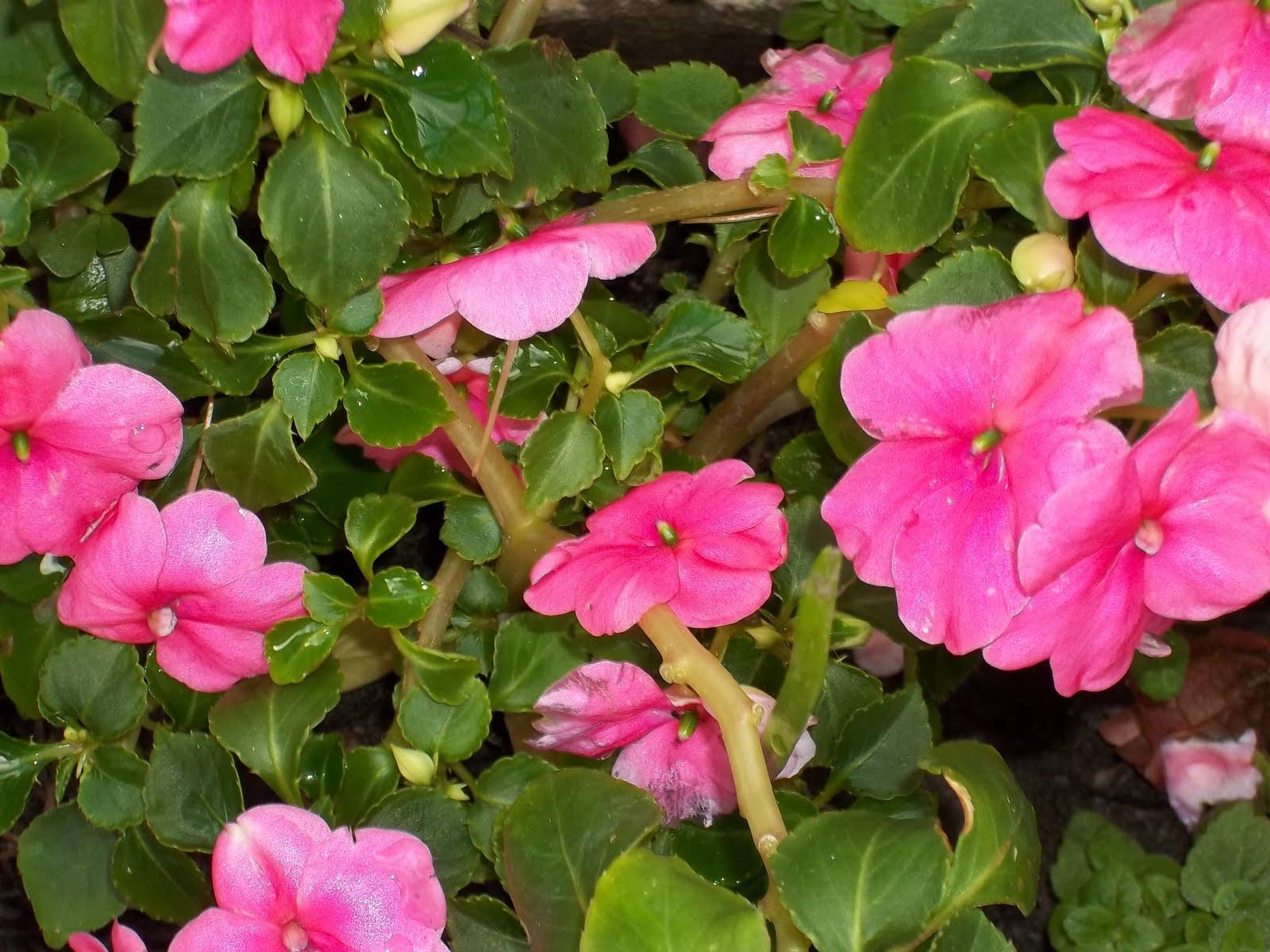 Algunas plantas de mi jard n - Planta alegria del hogar ...