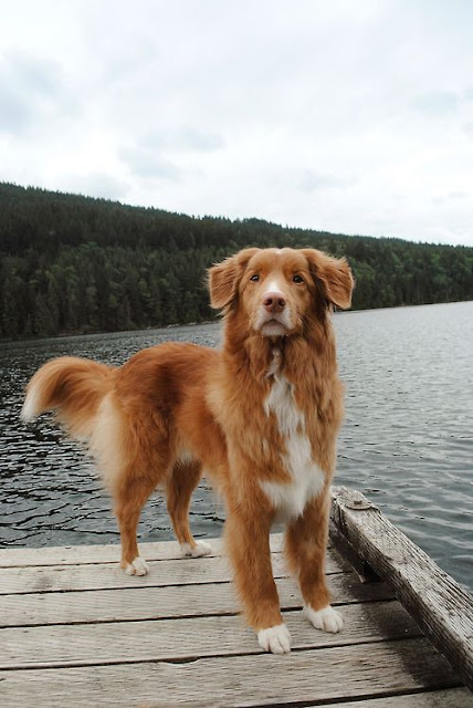 5 Dog Breeds From Canada