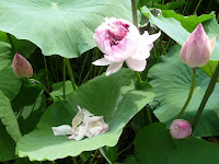 室町時代から600年もの間、田中家代々及び地元の人々によって守り育ててきた貴重な蓮である