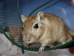 Gerbil derisively stares at us from running wheel.