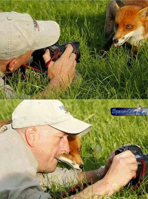 funny animals fox picture