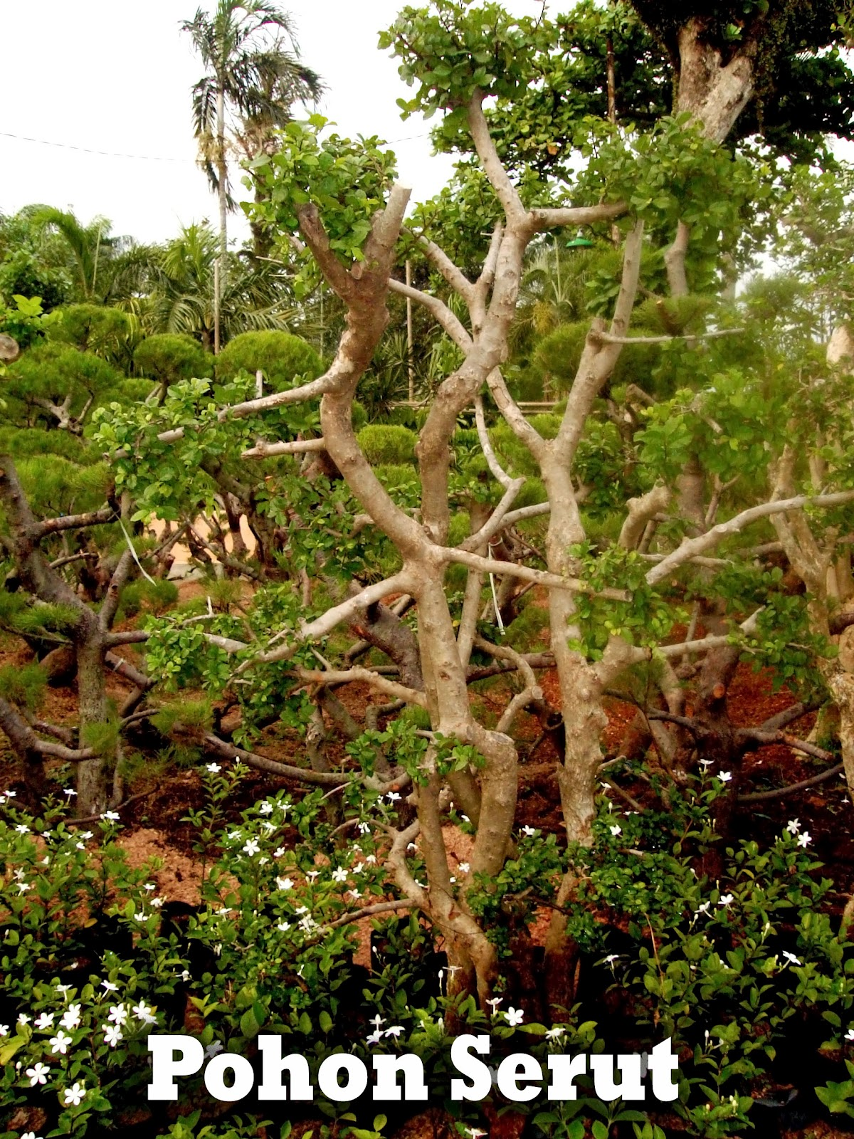 pohon serut besar jual tanaman hias