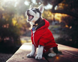 Husky im Hoodie