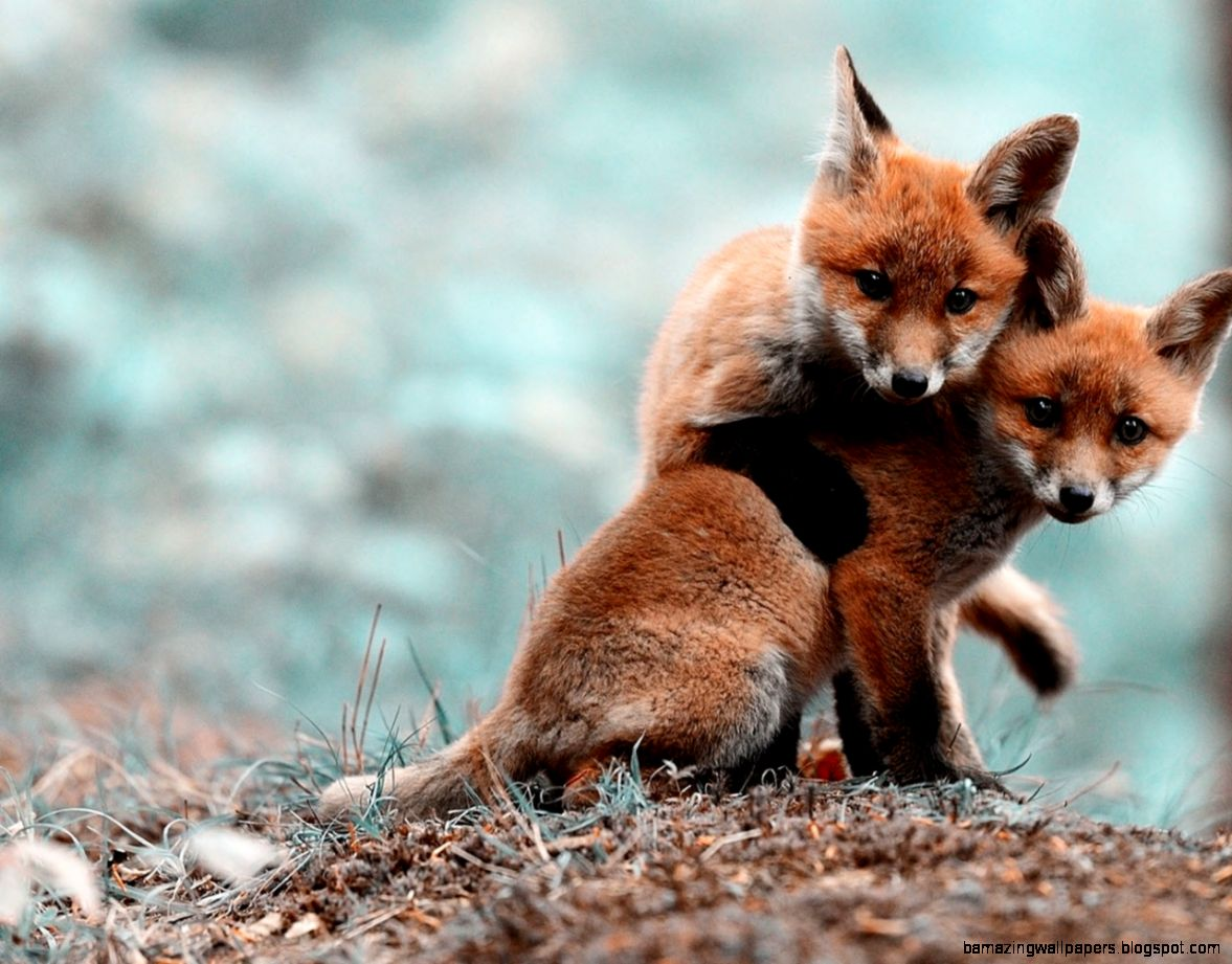 Cute Animals Image Fox Puppies Loving Each Other Both Looking