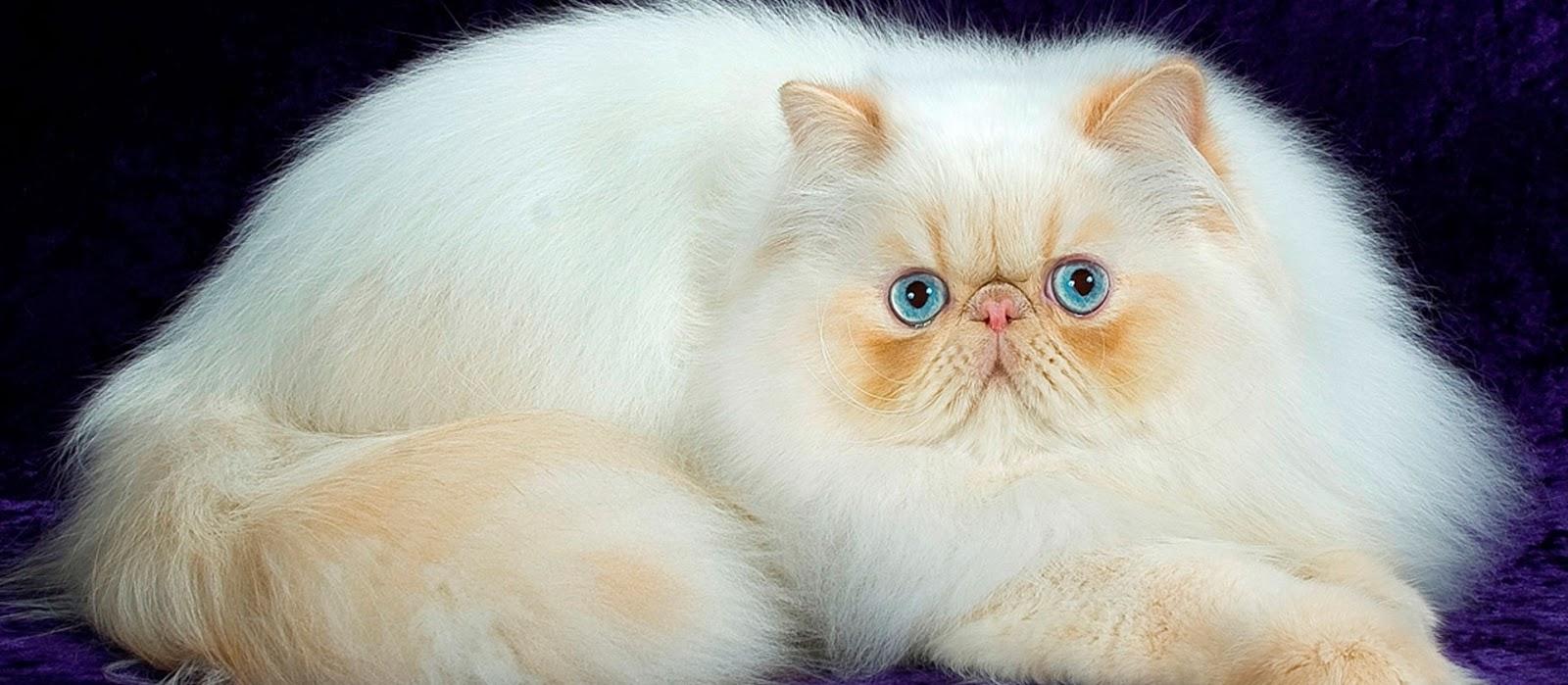 Gambar Kucing Persia tiduran