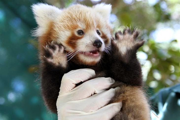 40 Adorable red panda pictures (40 pics), baby red panda give jazz hands