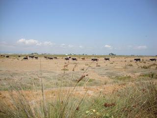 Sant carles de la Rápita Bulls in field landscape Photos - Tarragona - Spain