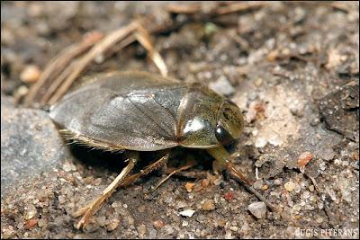 Peldblakts (Ilyocoris cimicoides)
