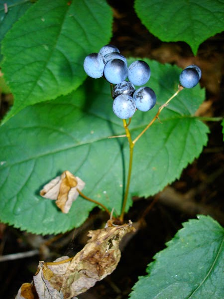 Blue Cohosh fruits (ripe) late summer