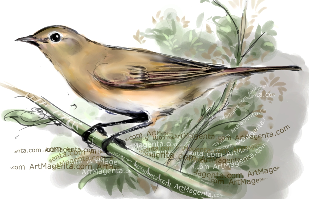 Garden Warbler sketch painting. Bird art drawing by illustrator Artmagenta