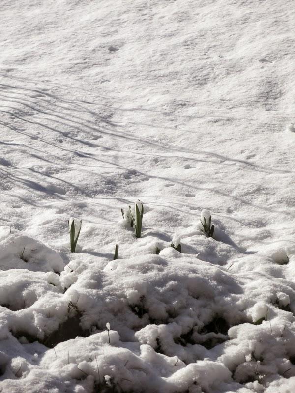 snö, narcisser