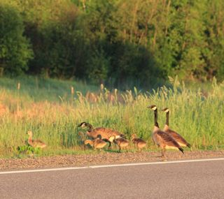 photo of geese and goslings