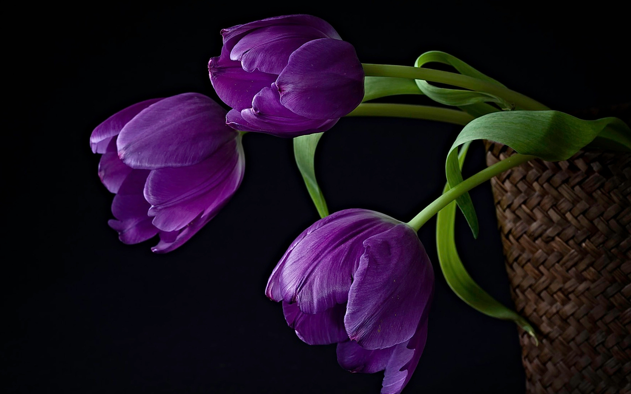 purple tulips hd wallpaper - photo #4