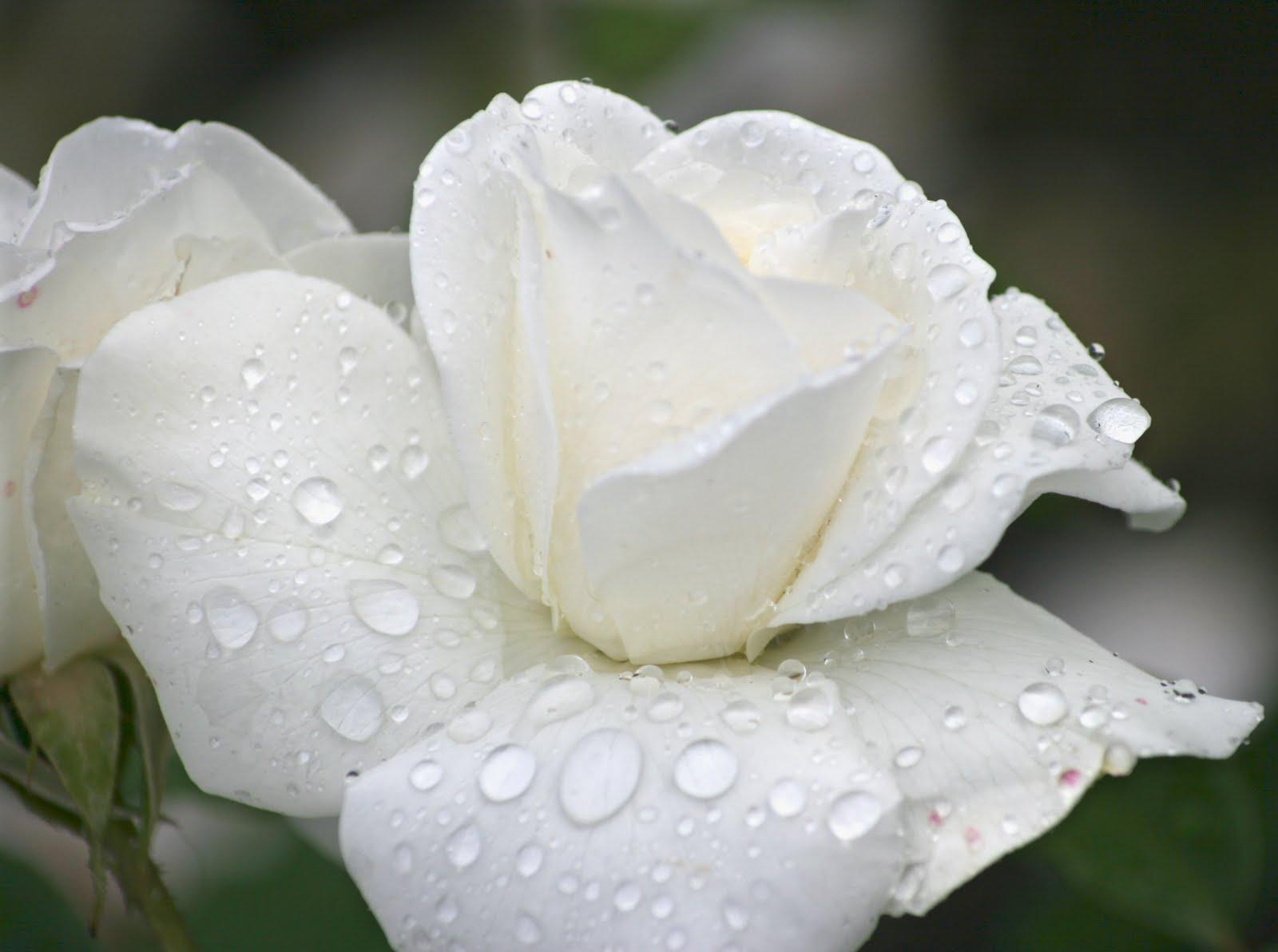 Beautiful Single Pure White Rose Flower Wallpaper
