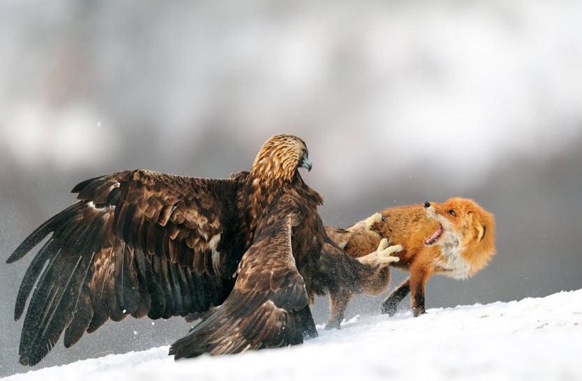 Gold eagle animal - photo#20