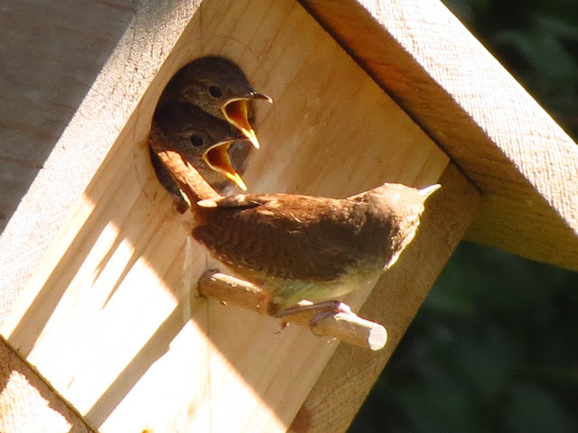 house wrens in the box