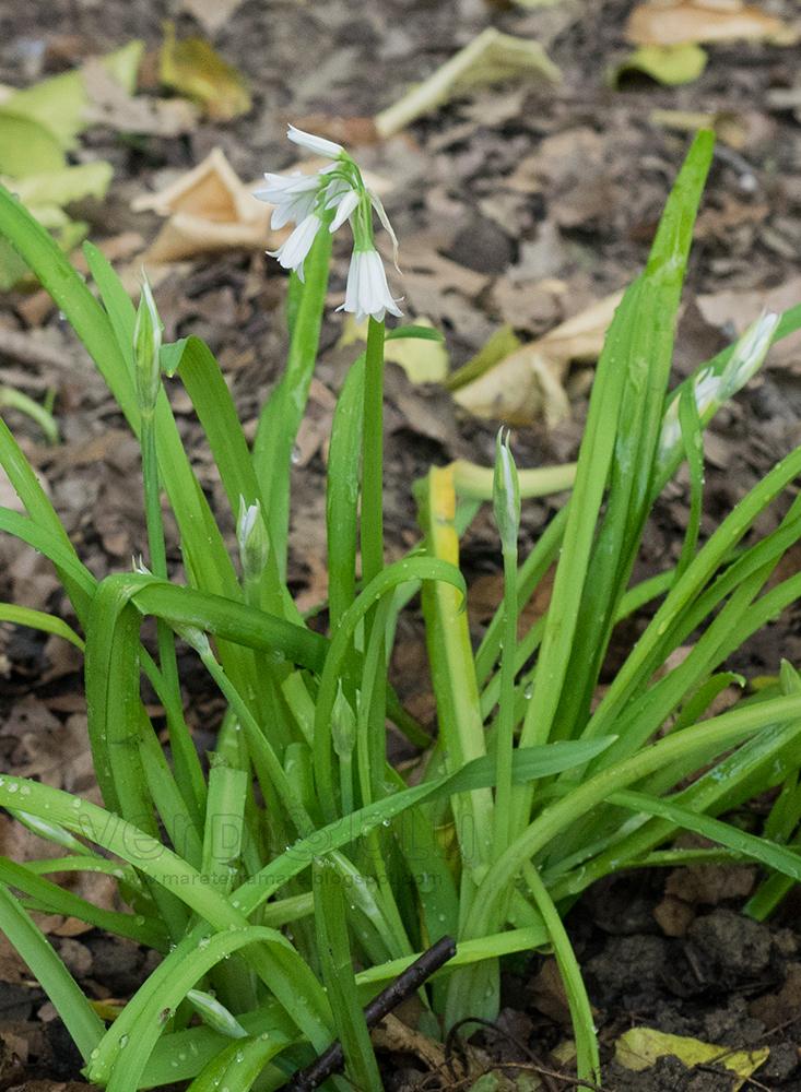 Aglio triquetro - Allium triquetrum