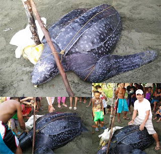 Leatherback sea turtle caught in Samar