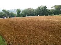 Camps de blat al Camí del Mas Torroella