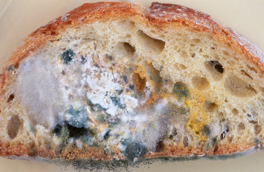 Alimentos mohosos (pan, piensos, maiz, etc) y su riesgo para las gallinas y aves de corral. Pan+mohado
