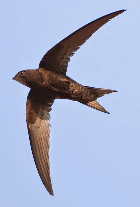 Swift rondone